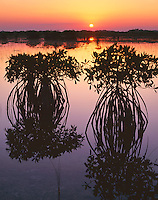 Everglades National Park, FL <br /> Red mangrove (Rhizophora mangle) silhouettes reflecting on a still saltwater marsh at sunrise