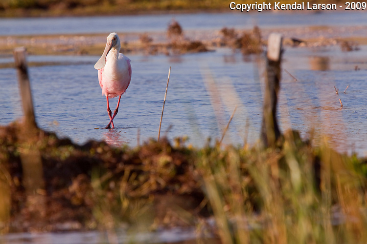"""A roseatte spoonbill works one leg over the other while walking, appearing to do the """"old soft shoe."""""""
