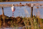 "A roseatte spoonbill works one leg over the other while walking, appearing to do the ""old soft shoe."""