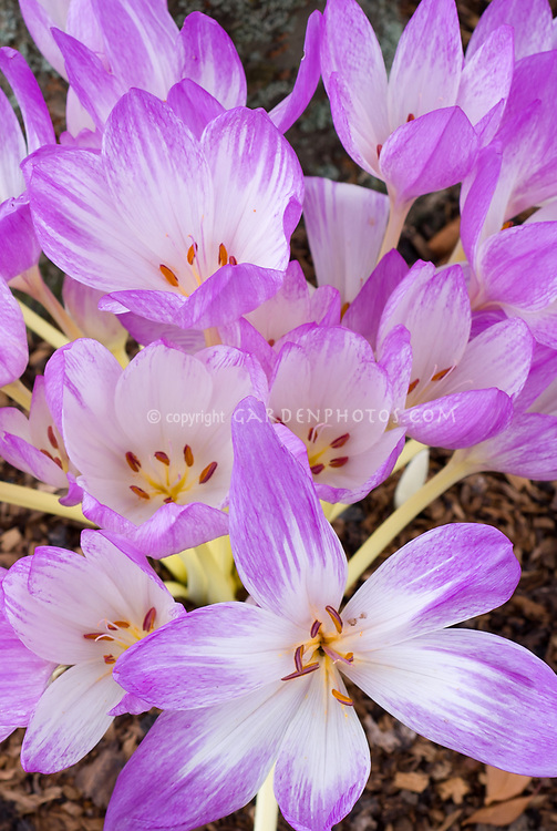 Colchicum The Giant autumn flowering bulb in fall bloom