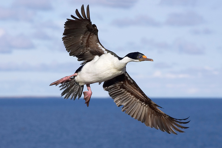 King Cormorant - Phalacrocorax atriceps albiventer