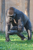 Germany, DEU, Muenster, 2006-Sep-21: A nine weeks old gorilla baby (gorilla gorilla) is being carried by its mother in the Muenster zoo.