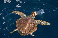 loggerhead turtle, Caretta caretta, feeding on by the wind sailor, Velella velella, Azores Island, Portugal, North Atlantic