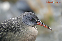 "0102-08ss  Virginia Rail ""Freshwater Marsh Bird"" - Rallus limicola   © David Kuhn/Dwight Kuhn Photography."