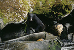 A black bear is nearly lost in the shadows of large boulders along Anan Creek.  Alaska, USA.