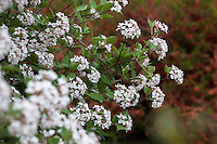 Viburnum carlesii, white flowering fragrant spring blooming shrub; Winterthur Garden