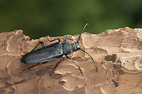 Mulmbock, Zimmerbock, Weibchen, Ergates faber, Carpenter longhorn, Long horned beetle, female