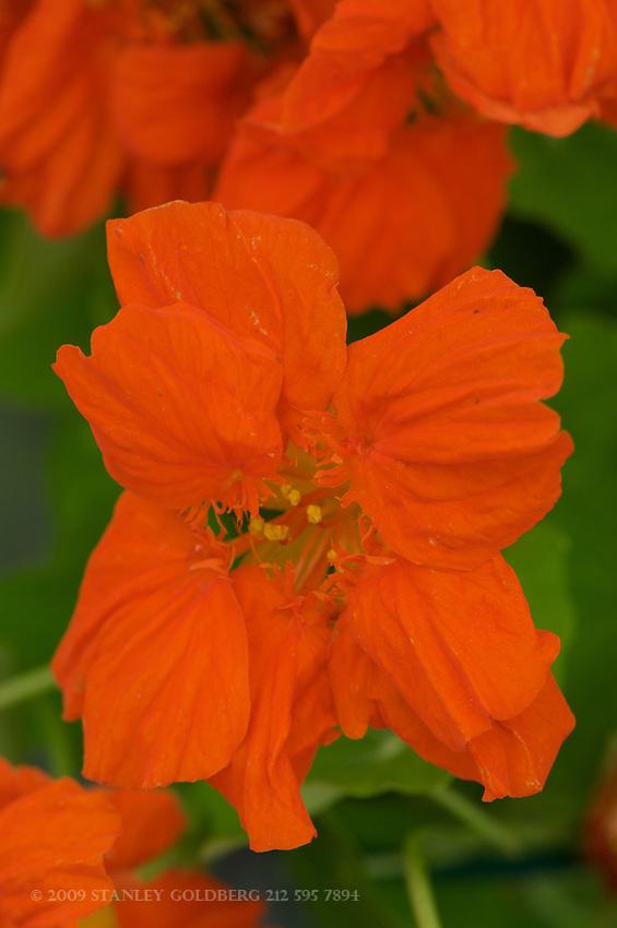 Orange Nasturshams