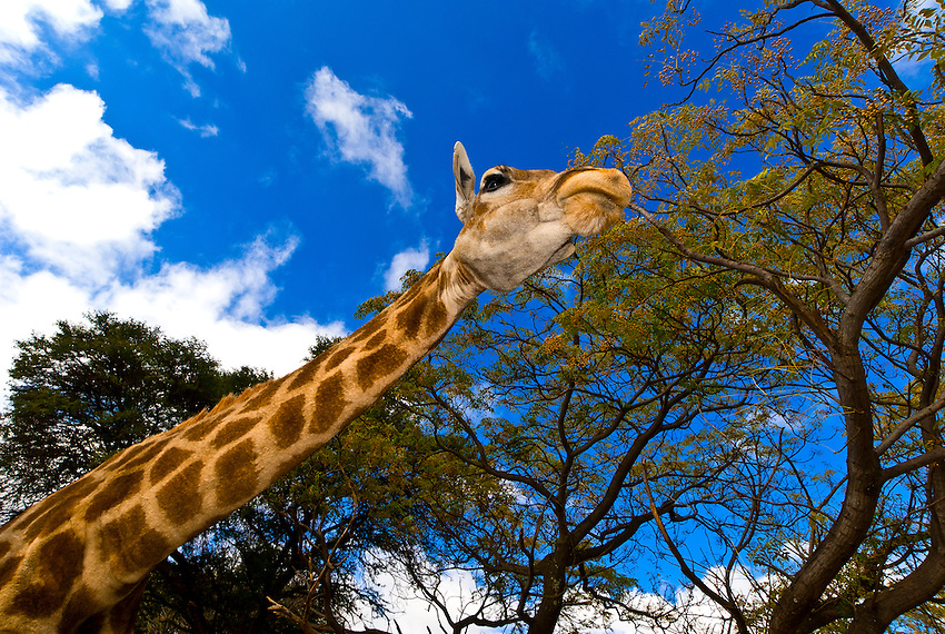 Giraffes, Lion Park, Johannesburg, South Africa