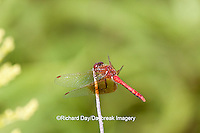 06664-001.12 Band-winged Meadowhawk (Sympetrum semicinctum) male perched near wetland, DuPage Co., IL
