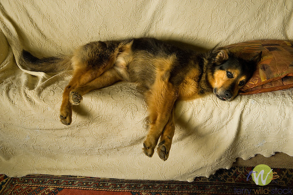 Shepherd mix laying on couch