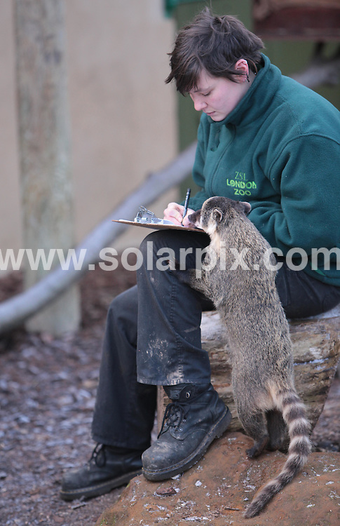 **ALL ROUND PICTURES FROM SOLARPIX.COM**.**NO UK NEWSPAPER PUBLICATION**.**UK MAGAZINE & SUPPLEMENT PUBLICATION ONLY** AND NO PUBLICATION IN AUSTRALIA, BELGIUM, FRANCE, GERMANY, ITALY, SCANDINAVIA AND USA** .Zoo keepers braved the cold at London Zoo this morning to take stock of more than 750 different species of animal. Keepers now have quite a task on their hands to count all of the animals from the smallest bug to the tallest giraffe. London, UK. 5 January 2010..This pic: Coatis..JOB REF: 10430 SFE       DATE: 05_01_2010.**MUST CREDIT SOLARPIX.COM OR DOUBLE FEE WILL BE CHARGED**.**MUST NOTIFY SOLARPIX OF ONLINE USAGE**.**CALL US ON: +34 952 811 768 or LOW RATE FROM UK 0844 617 7637**