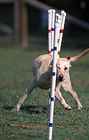 Yellow Labrador Retriever (NR) performing weave poles in a dog agility competition in Gloucester, VA.