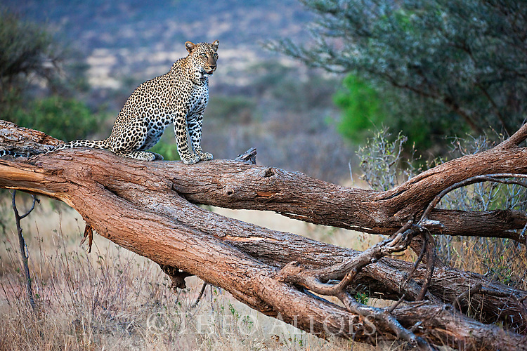 Kenya, Samburu, leopard in tree