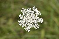 Burnet-saxifrage - Pimpinella saxifraga