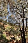 Israel, the Lower Galilee. Elm tree in Wadi Tzalmon..