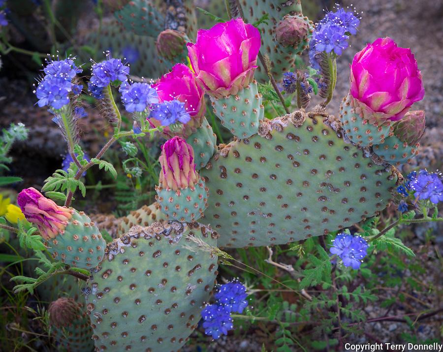 Anza-Borrego Desert State Park:  Beavertail cactus (Opuntia basilaris) blossoms  and blue flowering phacelia (Phacelia distans)