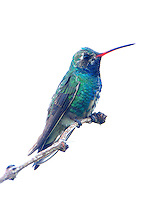 Subadult male broad-billed hummingbird. This bird is wintering in the back yard of a private home, together with an adult male rufous hummingbird, and making regular visits to feeders there. The broad-billed hummingbird is an uncommon visitor to most of Texas.