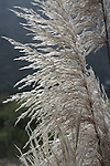 Pampas Grass in silhouette
