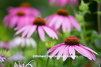 63821-22919 Purple Coneflowers (Echinacea purpurea) Marion Co., IL
