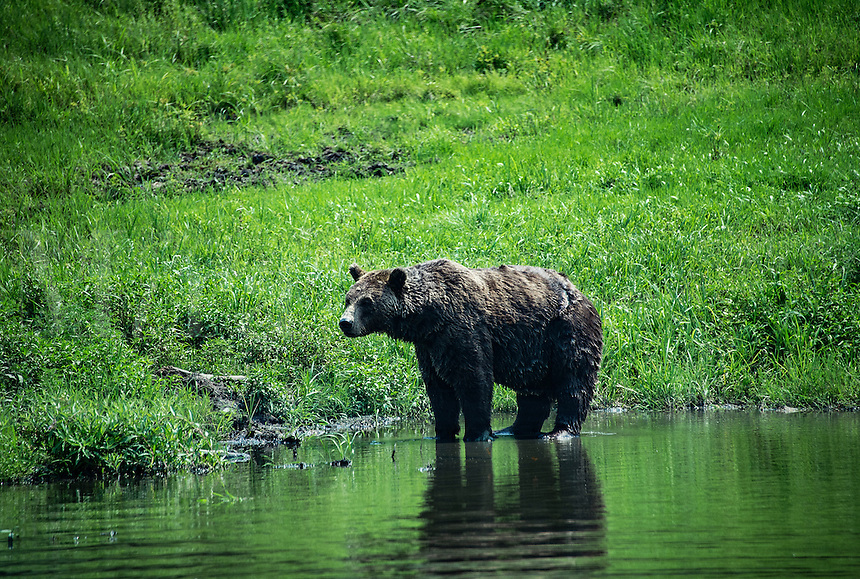 Brown Bear, Ursus arctos, Alaska, USA