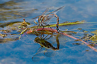 339300020 a wild female california darner rhionaeschna californica oviposits in ash creek at ash creek campground lassen county california