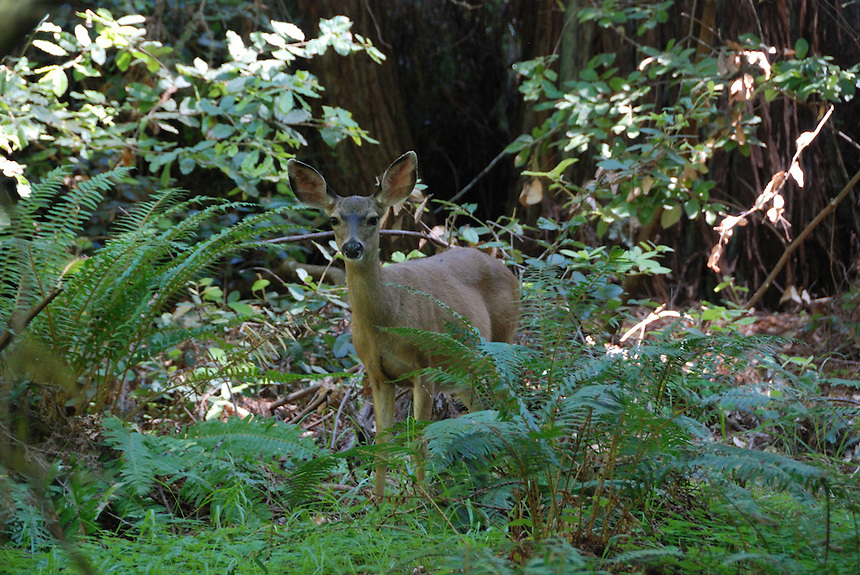 White-tailed Deer, Muir Woods, California