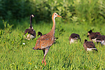 Sandhill colt and Canada geese walking in a northern Wisconsin field.