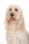 Goldendoodle Breed Dog, in studio, shot to white background, portrait