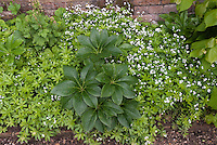 Helleborus (center clump), Tiarella Foamflower, and blooming Sweet Woodruff Galium odoratum in bloom in shade as groundcovers.