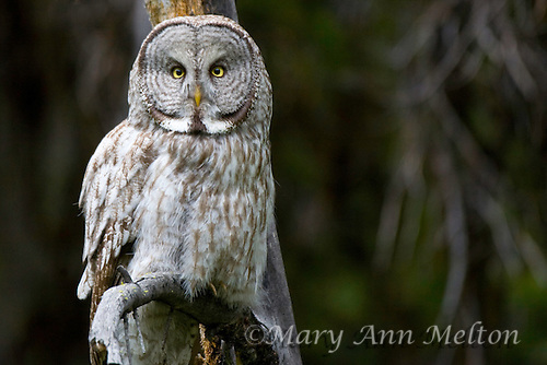 Great Gray Owl, Strix nebulosa,  Yellowstone National Park near Tower Junction.