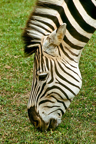 Greveys Zebra, Equus Grevyi, Grazing on grass in Kenya