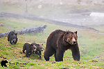 Grizzly bear sow with three young cubs. Yellowstone National Park, Wyoming.