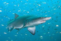 Sandtiger Shark (Carcharias taurus). Aka Grey Nurse Shark, Raggie, and Ragged Tooth Shark. North Carolina, USA, north western Atlantic Ocean.