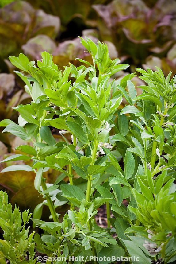 Windsor Fava Bean, Vicia faba 'Windsor' in vegetable garden