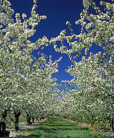 Apple orchard in full spring bloom.  WA