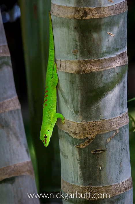 Giant Day Gecko (Phelsuma madagascariensis grandis) basking on palm trunk. Iharana (Vohemar) northern Madagascar.