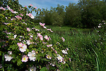 Dog Rose flowering bush, Rosa canina, by pond, Stodmarsh, Kent, pink, water meadow.United Kingdom....