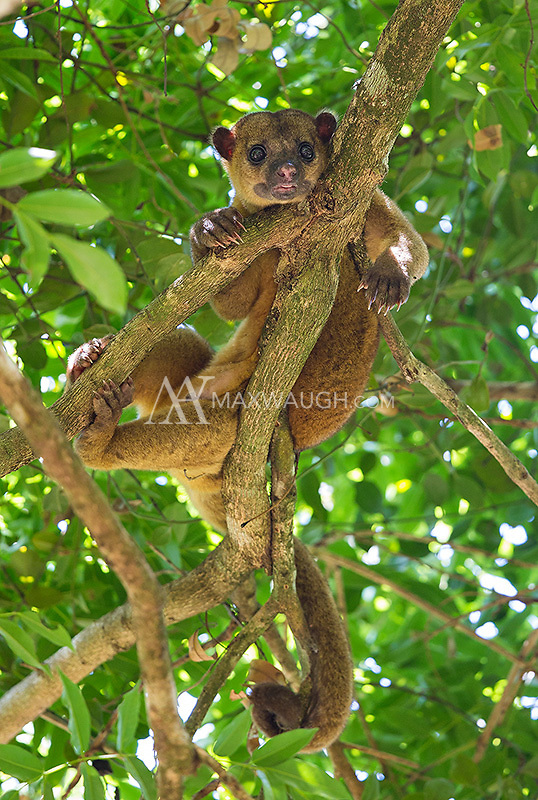 One of my favorite finds of the trip: the nocturnal kinkajou!