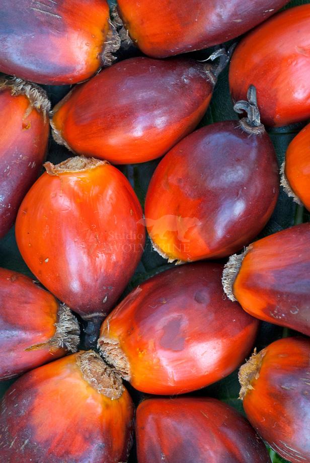 Oliepalm (Elaeis guineensis) seeds