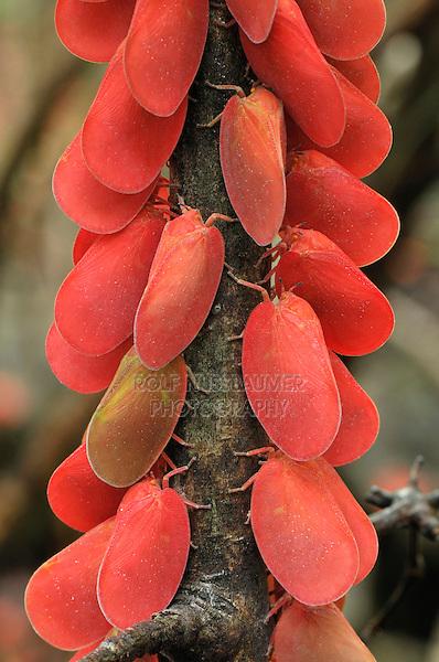 .Adult Flatid Leaf Bugs (Phromnia rosea), adults, Montagne des Français Reserve, Antsiranana, Northern Madagascar