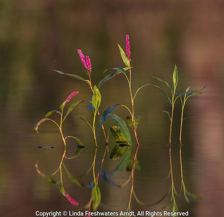 Smartweed growing in northern Wisconsin.