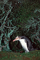 yellow-eyed penguin, Megadyptes antipodes, ( endangered ) returning to nest in dense coastal Rata forests, Enderby Island, Auckland Island, New Zealand subantarctic, Pacific Ocean