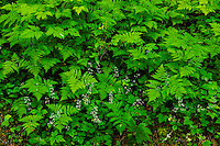 Forest Floor, Oak Ferns and Foamflowers