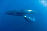 Bryde's whale, Balaenoptera brydei or Balaenoptera edeni, with calf off Baja California, Mexico ( Eastern Pacific Ocean )