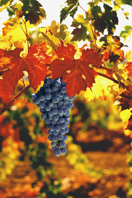 Fall colors of cabernet grapevine