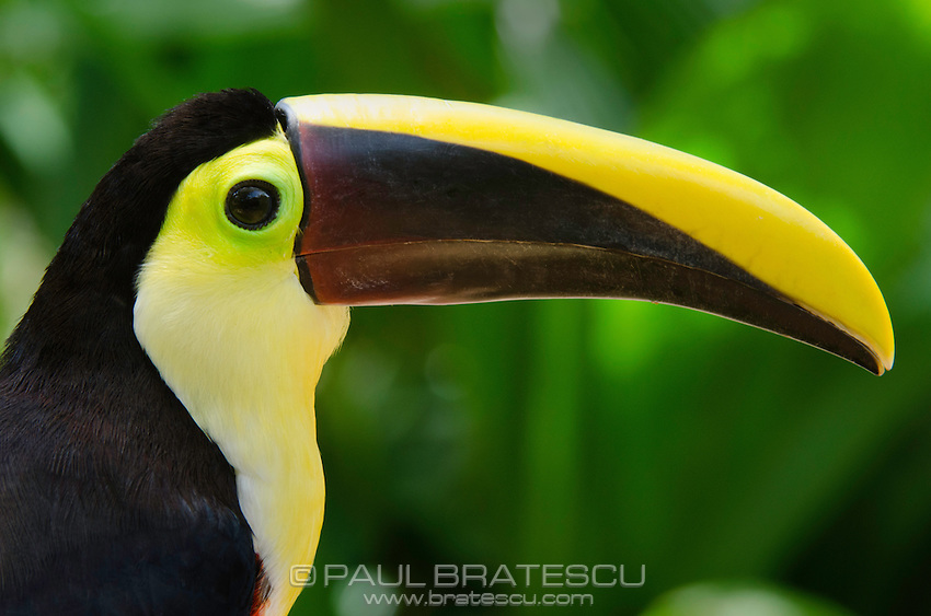 Chestnut Mandible or Swainson's Toucan (Ramphastos swainsonii)