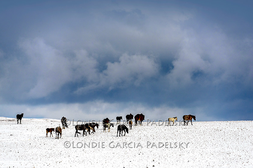 Herd of horses in snow, Glacier County, northeaster, Montana