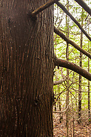 The trunk of a large cedar tree is dark agains the green branches in the wood behind.
