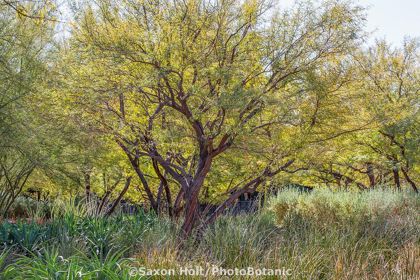 Prosopis chilensis - Thornless Chilean Mesquite tree Sunnylands garden